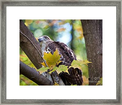 Framed Print featuring the photograph Red Tail Hawk Closeup by Eleanor Abramson