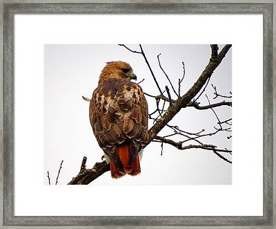 Red Tail Hawk In Winter Framed Print