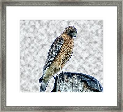 Red Tail Hawk Looking Down Framed Print