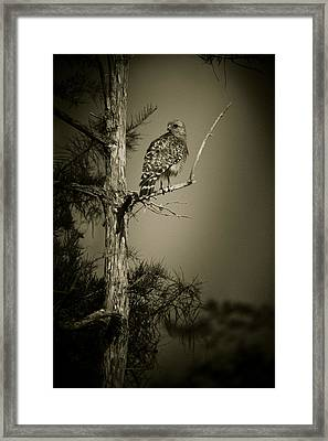 Red Tail Hawk On Loop Road Framed Print