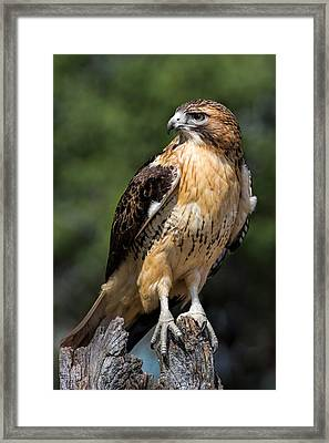 Red Tail Hawk Portrait Framed Print by Dale Kincaid