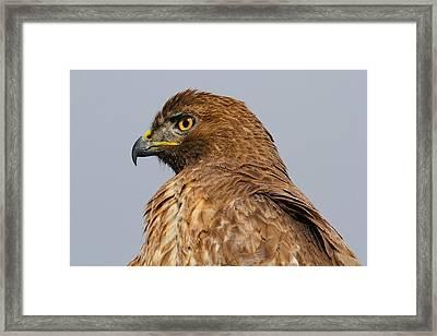 Red Tail Hawk Portrait Framed Print by Paul Marto