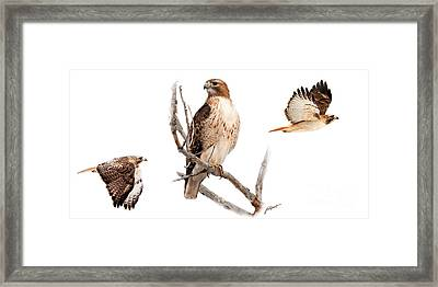 Red Tail Hawk Series Framed Print