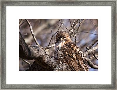 Red-tail Hawk Stare Framed Print by Jeff Sinon