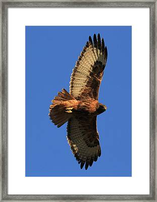 Red Tail II Framed Print