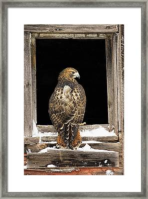 Red Tail Framed Print by Jack Milchanowski