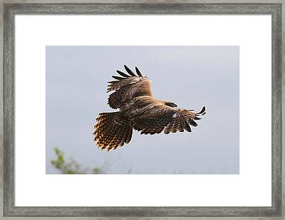 Red Tail Take Off Framed Print by Paul Marto