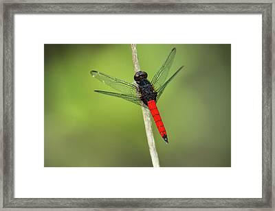 Red-tailed Dragonfly, Odzala, Kokoua Framed Print