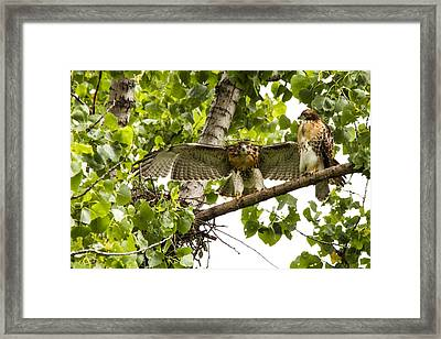 Red-tailed Fledges Framed Print by Jill Bell