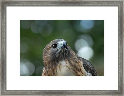 Red Tailed Hawk 297 Framed Print by Joyce StJames