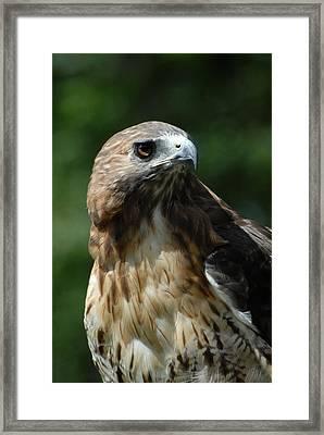 Red Tailed Hawk 301 Framed Print by Joyce StJames