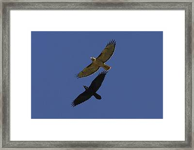 Red-tailed Hawk And Common Raven Flying Framed Print