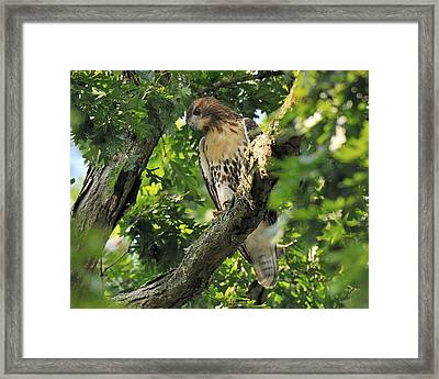 Red Tailed Hawk Framed Print by Angel Cher