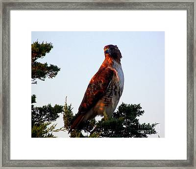 Red-tailed Hawk  Framed Print by CapeScapes Fine Art Photography