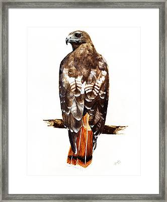 Red Tailed Hawk Framed Print by Carlo Ghirardelli