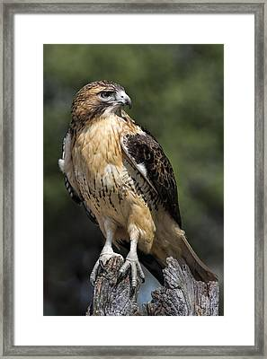 Red Tailed Hawk Framed Print by Dale Kincaid