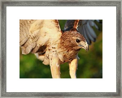 Red Tailed Hawk Hunting Framed Print by Dan Sproul