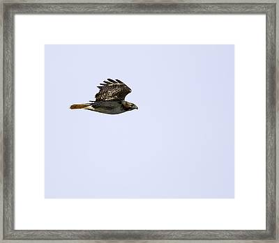 Red-tailed Hawk In Flight 1 Framed Print