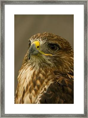 I'm So Proud - Red Tailed Hawk Framed Print