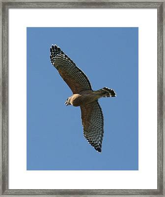 Red Tailed Hawk Framed Print by Jeff Wright