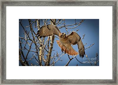 Red Tailed Hawk Framed Print by Julie Palencia