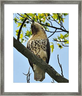 Red Tailed Hawk Juvy Framed Print by Angel Cher