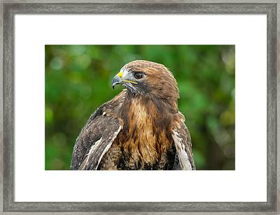 Red-tailed Hawk Close-up Framed Print