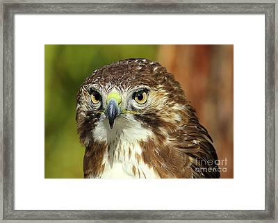 Red Tailed Hawk Framed Print by Lisa L Silva