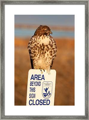 Red Tailed Hawk Lower Klamath National Wildlife Refuge Northern California Framed Print by Ram Vasudev