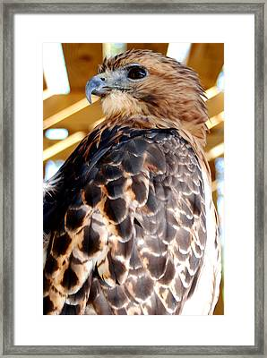 Red Tailed Hawk  Framed Print by Optical Playground By MP Ray