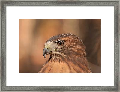 Red-tailed Hawk Framed Print by Nancy Landry