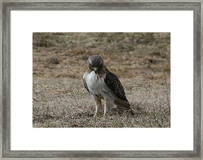 Framed Print featuring the photograph Red Tailed Hawk by Neal Eslinger