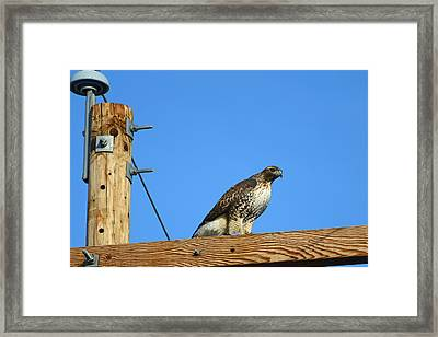 Red-tailed Hawk On A Power Pole Framed Print