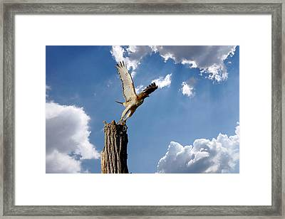 Red-tailed Hawk Perch Series 5 Framed Print by Roy Williams