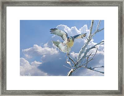 Red-tailed Hawk Pirouette Pose Framed Print by Roy Williams