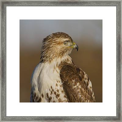 Red-tailed Hawk Portrait Framed Print