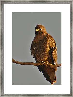 Red-tailed Hawk Rufous-morphed Framed Print by Sara Edens