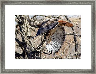 Red Tailed Hawk Sequence #4 Framed Print by Stephen  Johnson