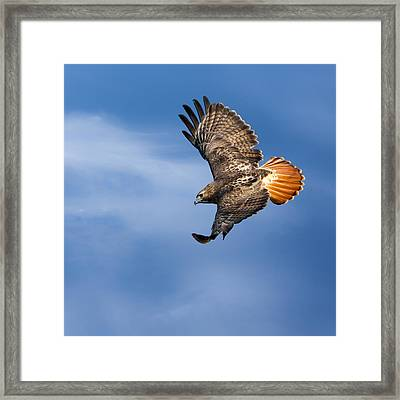 Red-tailed Hawk Soaring Square Framed Print by Bill Wakeley