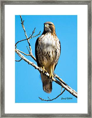 Red Tailed Hawk Standing Tall Framed Print by Stephen  Johnson