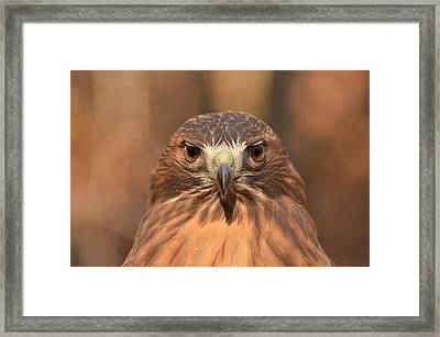 Red-tailed Hawk Stare Framed Print by Nancy Landry