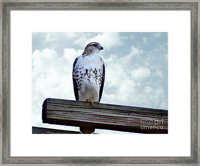 Red Tailed Hawk Waiting Framed Print