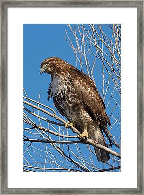 Red-tailed Hawk Watching The Ducks Framed Print