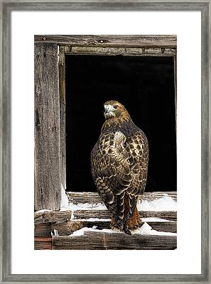 Red Tailed Framed Print by Jack Milchanowski