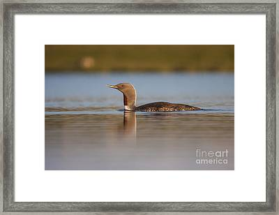 Red-throated Diver Gavia Stellata Framed Print