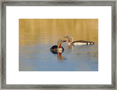 Red-throated Loon Pair Framed Print