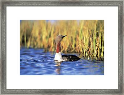 Red-throated Loon Framed Print