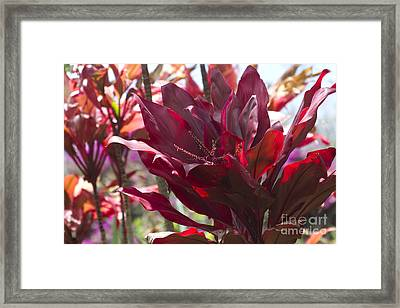 Red Ti - Cordyline Terminalis - The Queen Of Tropical Foliage Framed Print by Sharon Mau