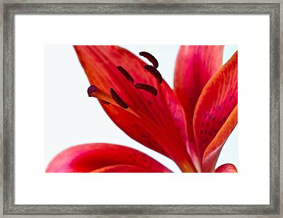 Red Tiger Lily Framed Print