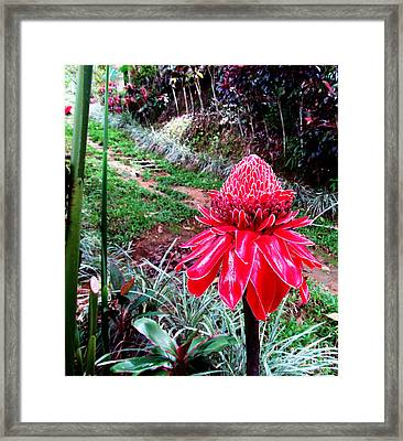 Red Torch Ginger Flower Two Framed Print by Tina M Wenger